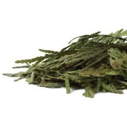Cedar Leaf Tips