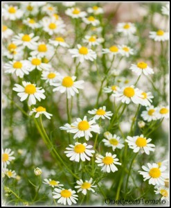 Benefits & Uses of Chamomile